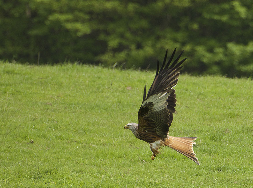 Agarty Red Kites2