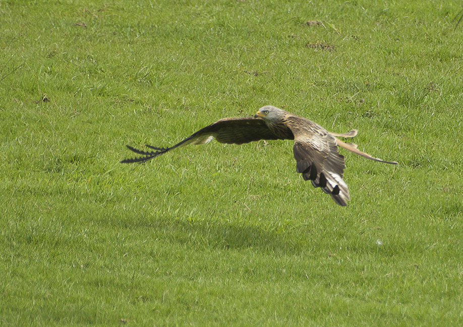 Agarty Red Kites4