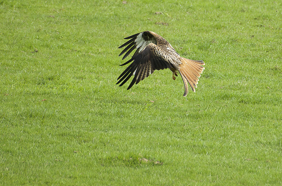 Agarty Red Kites5
