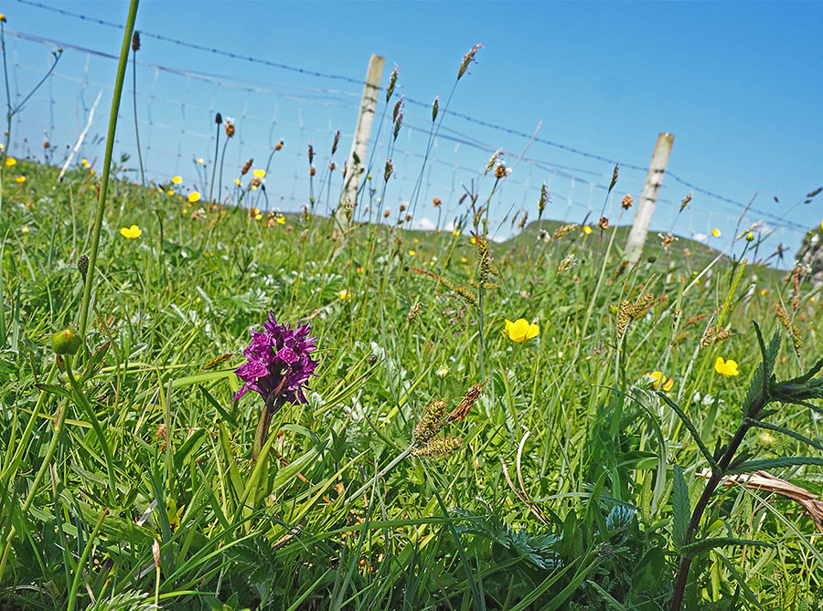 Purperrode orchis in de machair