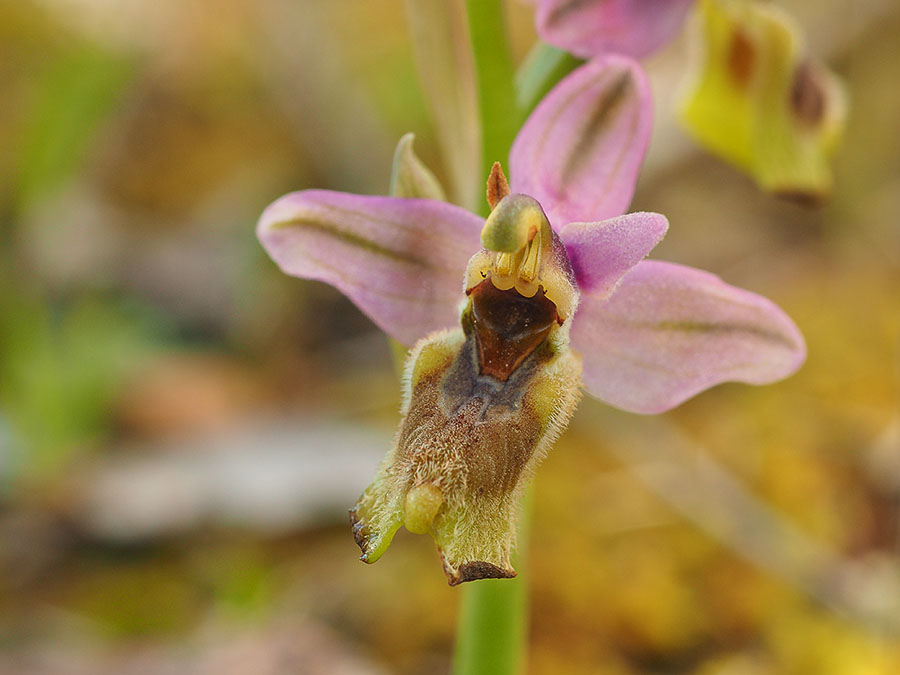 wolzweverorchis